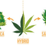 What Are The Differences - Indica, Sativa And Hybrid